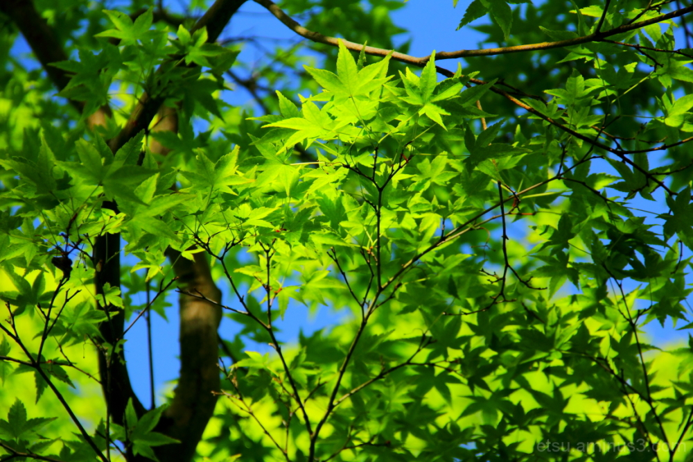 Fresh green 青蓮院