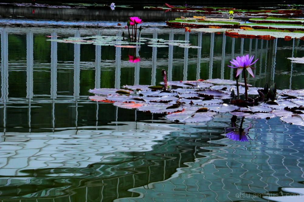 Water lilies....... 植物園