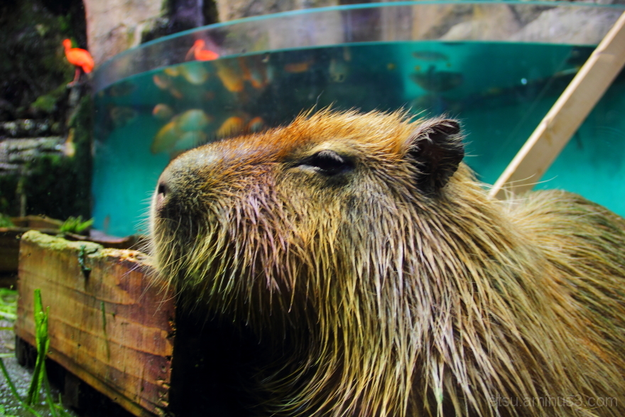 I'm an capybara, but my address is an aquarium.