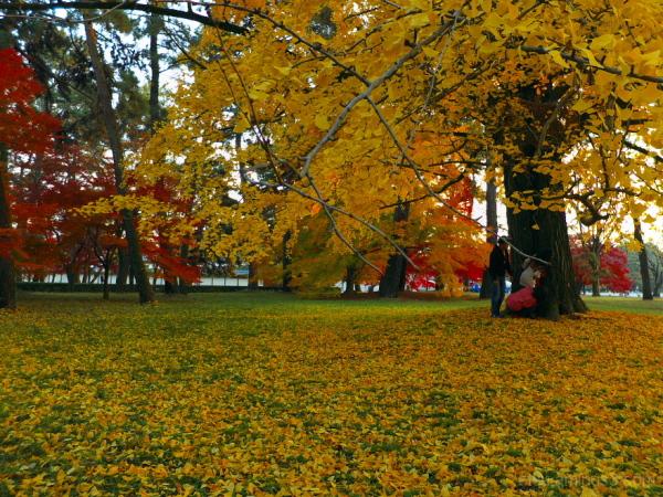 Under the ginkgo tree....... 御所
