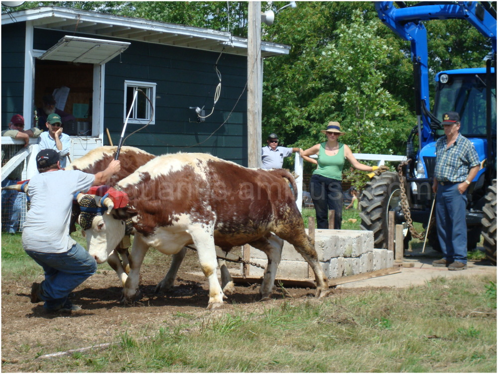 Ox Pull at the New Ross County Fair
