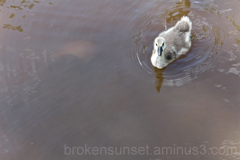 Baby Goose in River