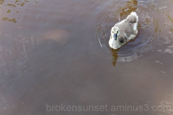 Baby goose goes for a swim