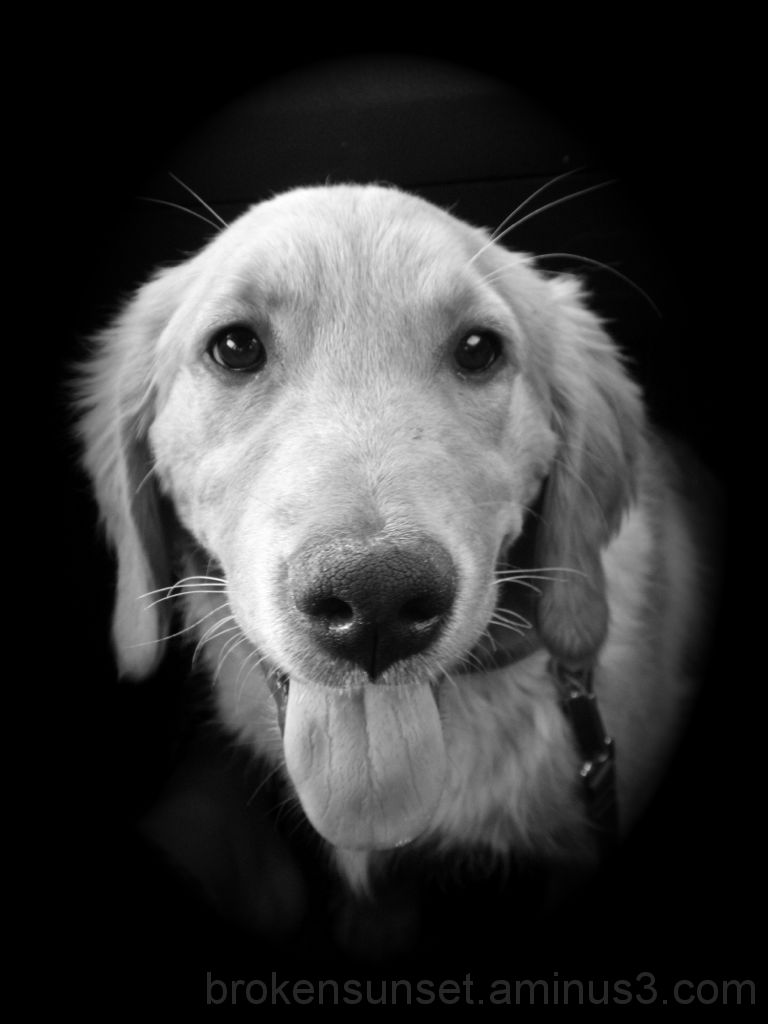 Golden Retriever Black and white