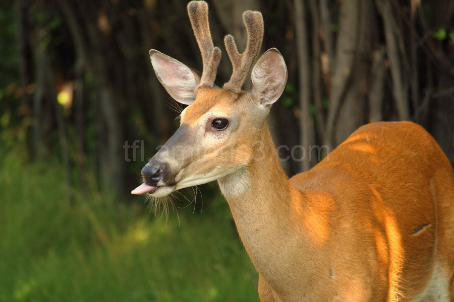 Deer sticking tongue out