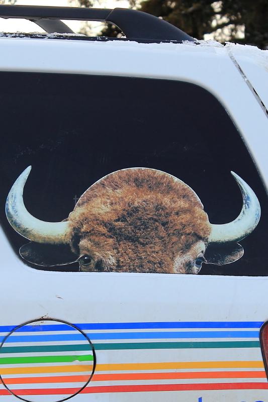 Buffalo on car