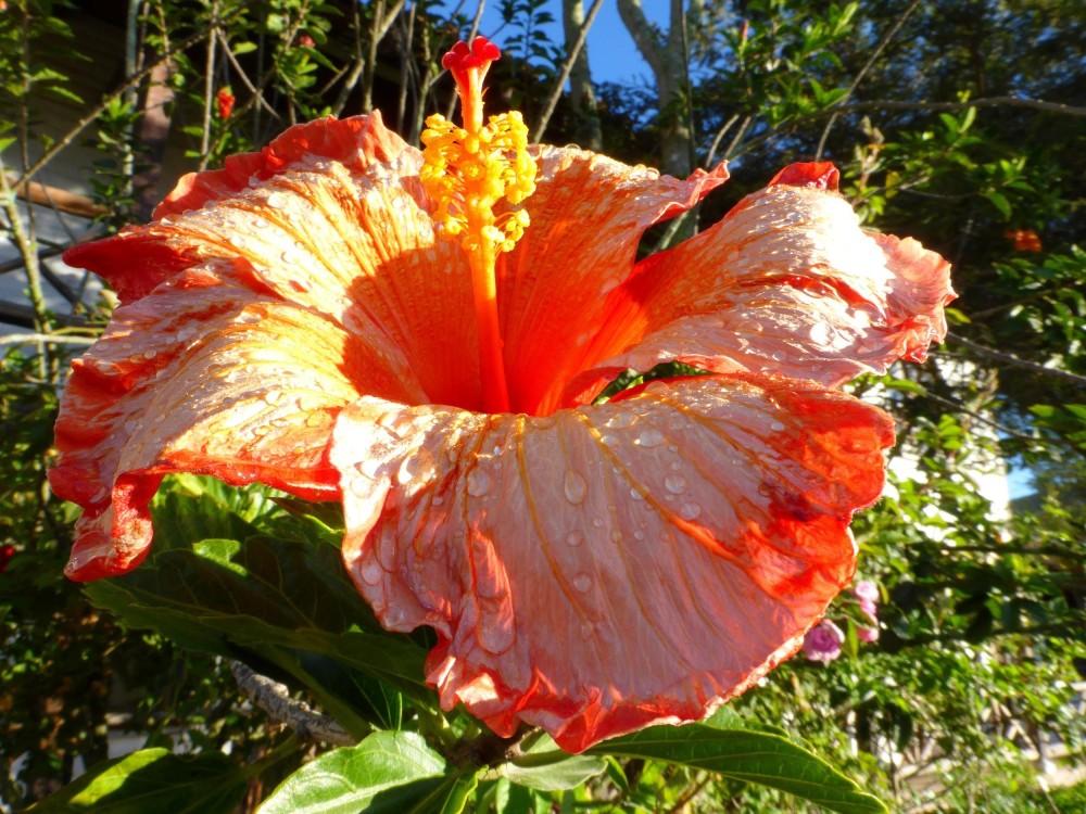 DE RETOUR !  COMING BACK !  (fleur d'Equateur )