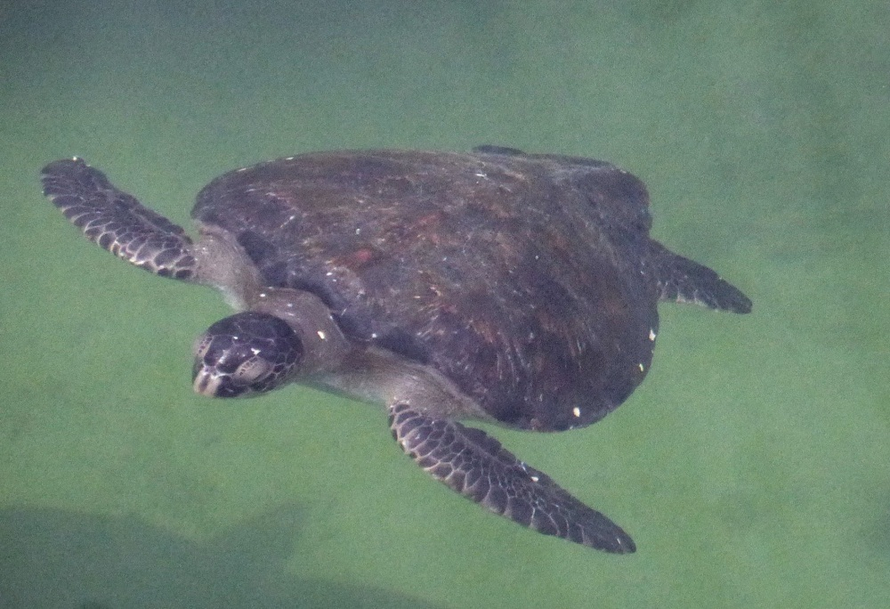GALAPAGOS : tortue de mer (attention au requin !)