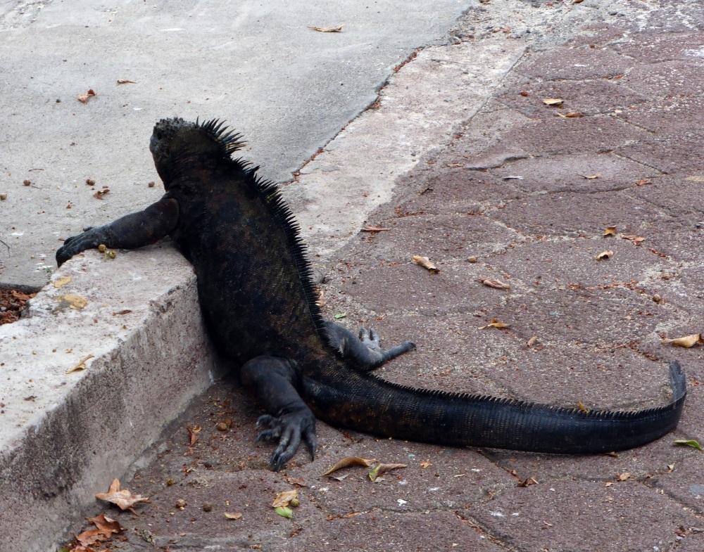 GALAPAGOS : iguane  faisant son tour en ville :-))