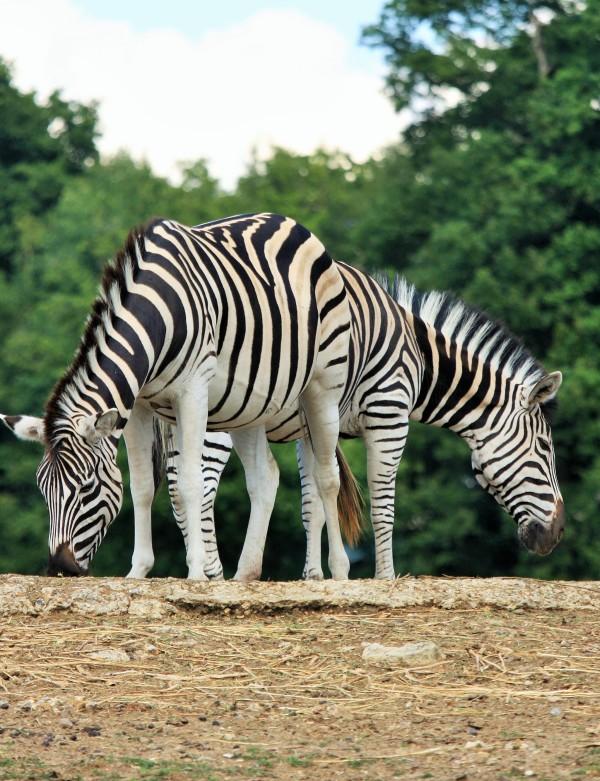 Graphisme animal ...