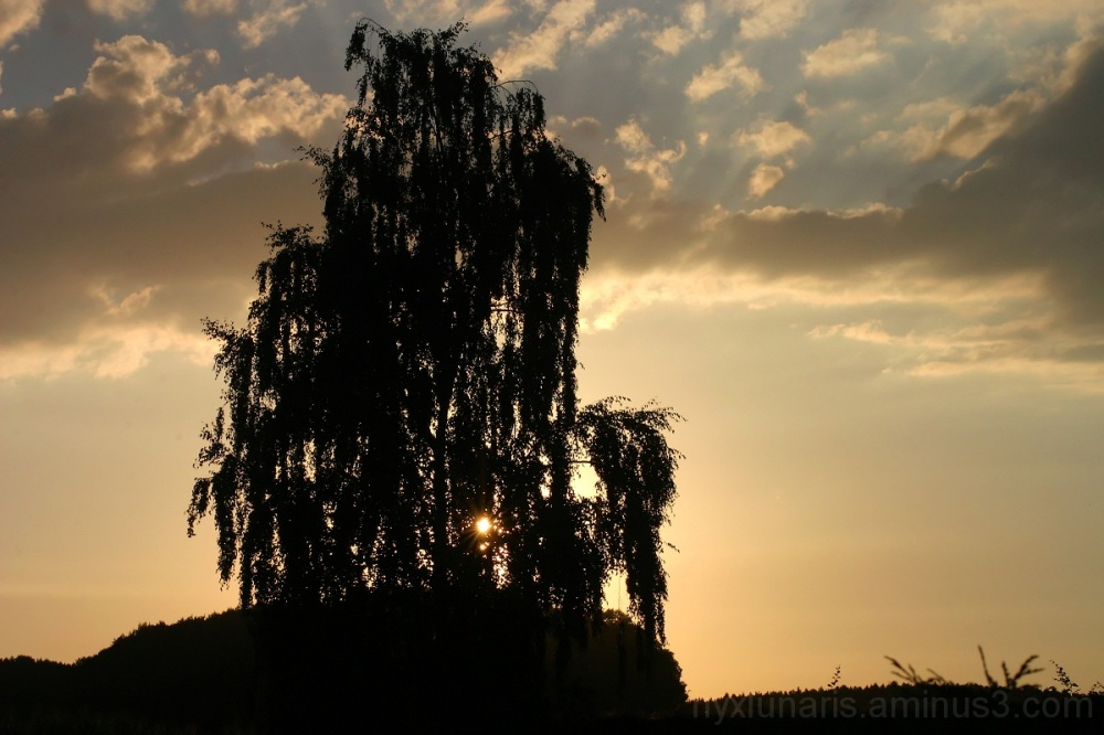 birch, tree, sunset