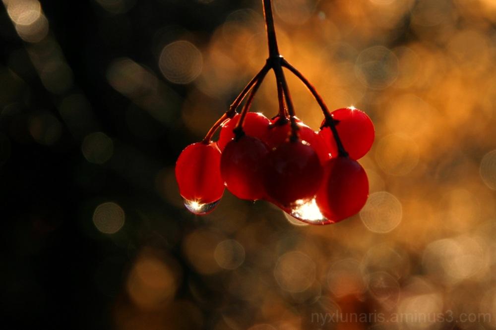 berries, autumn, dewdrop