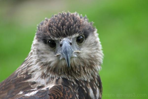 eagle, slight squint
