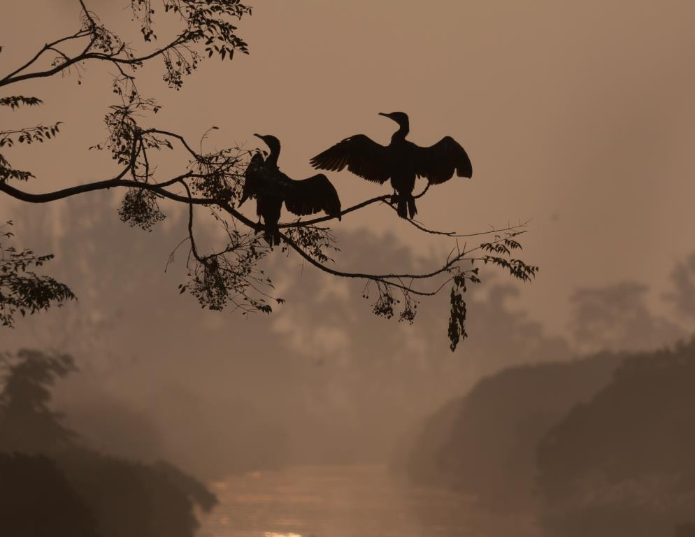 Great Cormorant Silhouette Mai Po