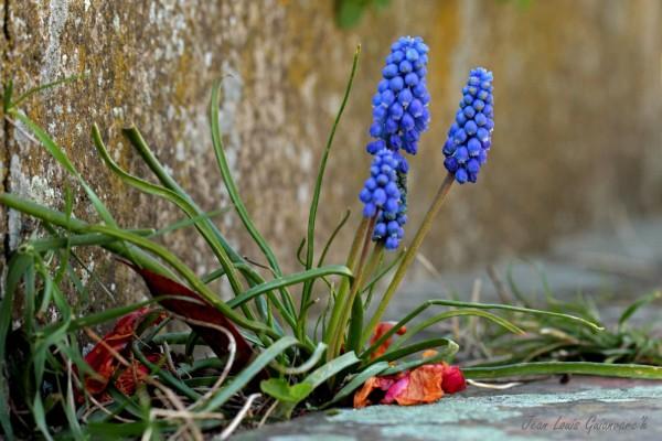 Clochettes d'avril. / Handbells of April.