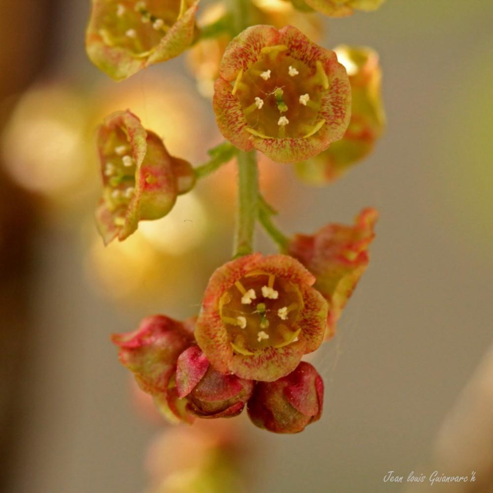 Fleurs de groseilles. / Flowers currants.