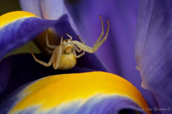 L'araignée-crabe. / The crab spider.