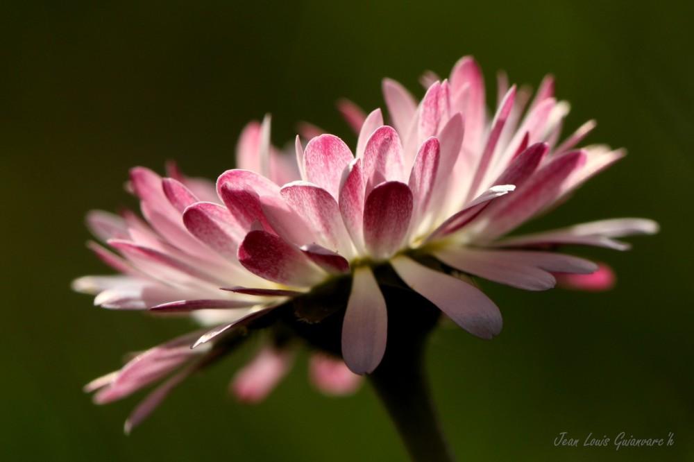 Fleur de Pâques. / Easter flower.