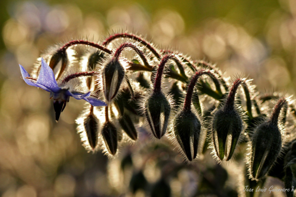 La bourrache. / Borage.