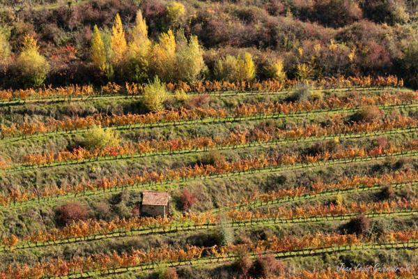 Cabane de vignes. /  Vine hut.