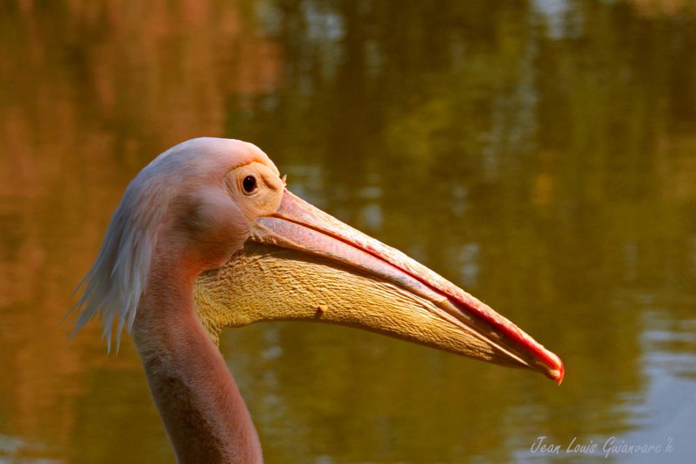 Le pélican. /  The pelican.