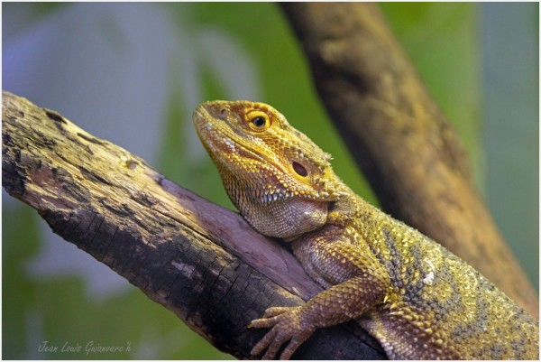 Dragon barbu. / Bearded Dragon.