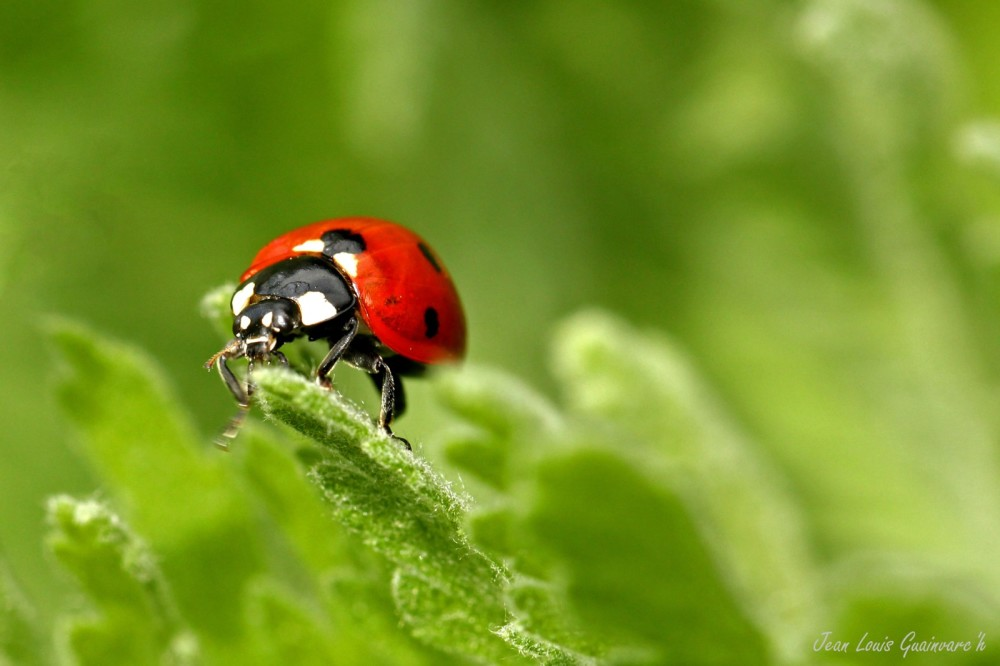 La coccinelle. /  The ladybug.