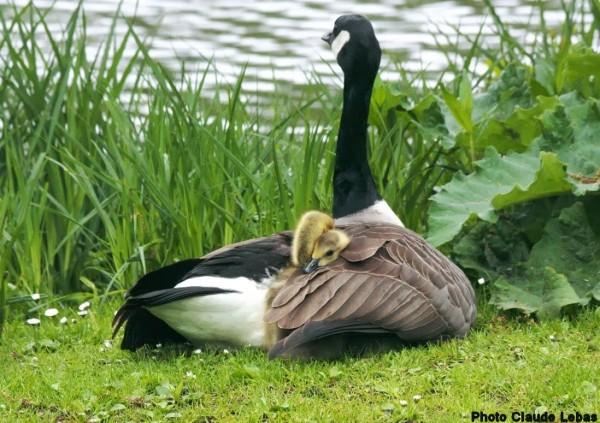 Oie bernache avec ses petits