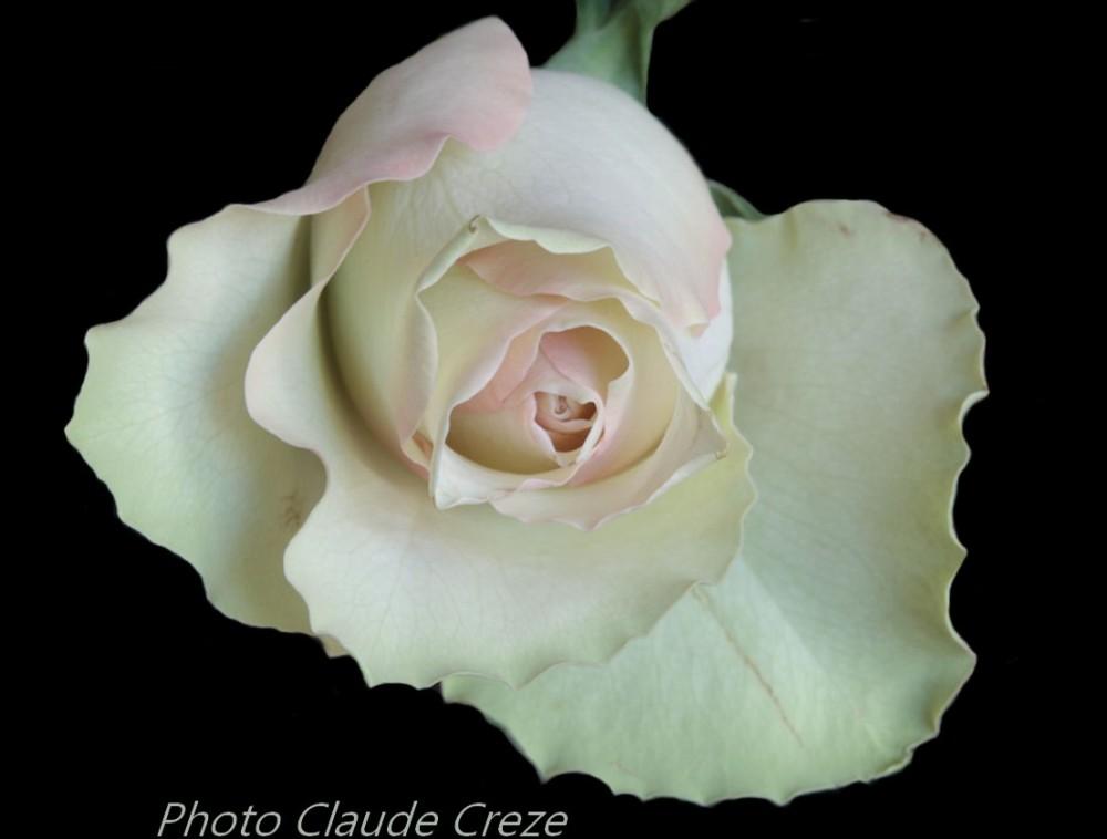 Une rose dans le noir