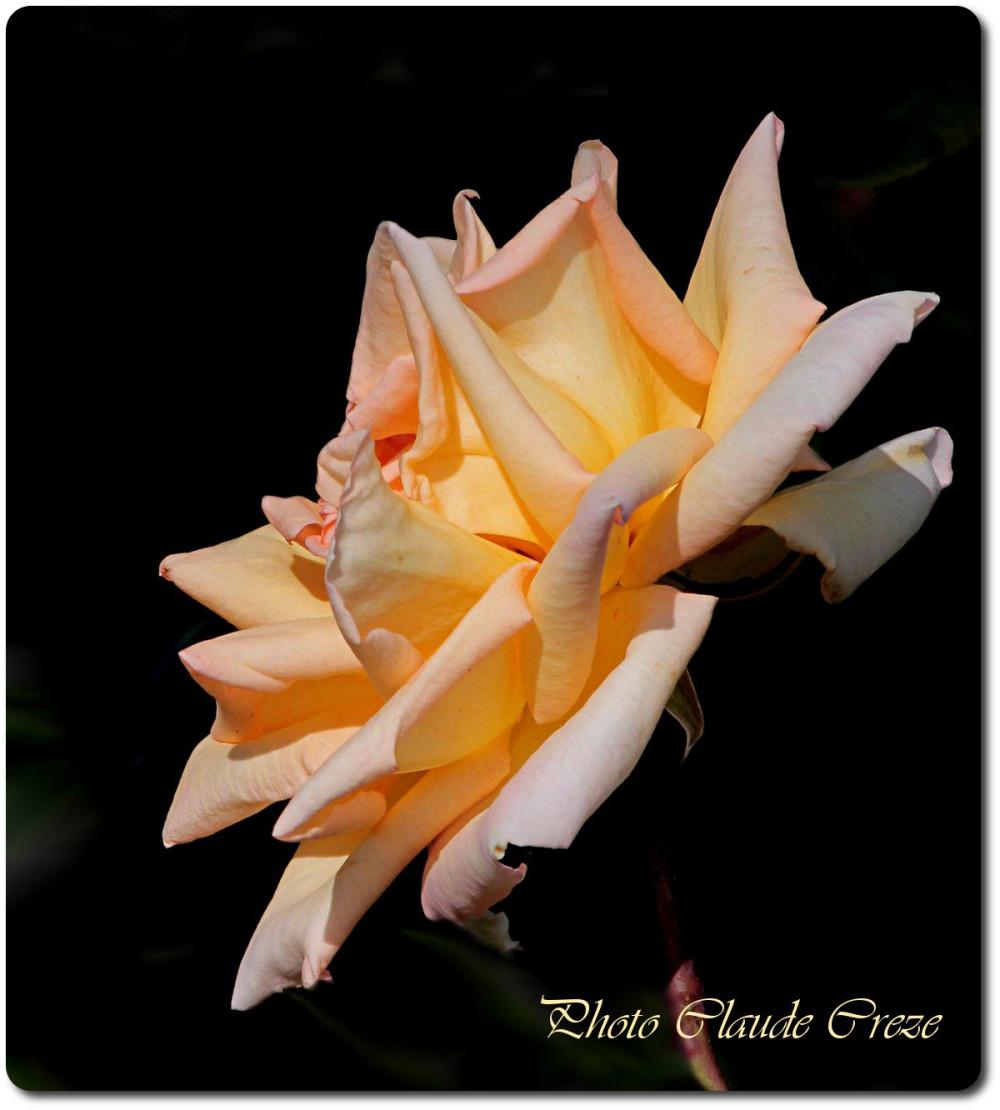 Les pétales de rose