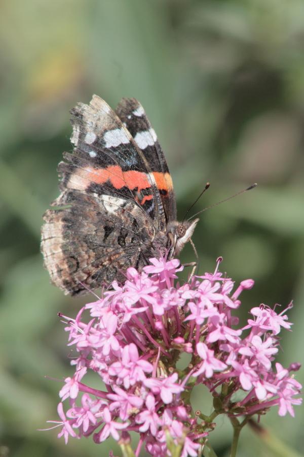 Papillon Vulcain sur fleur