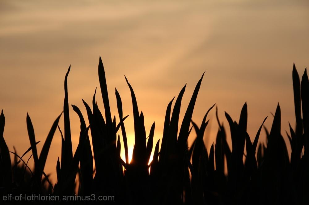 Corn in the evening sun