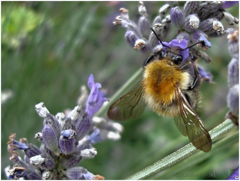 Bourdon - Bumblebee