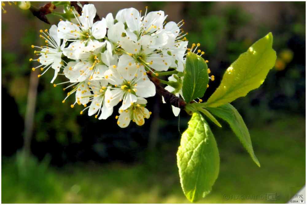 Fleurs de mirabelle - Flowers of mirabelle