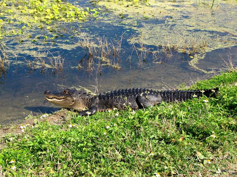 Alligator sunbathing at Viera Wetlands