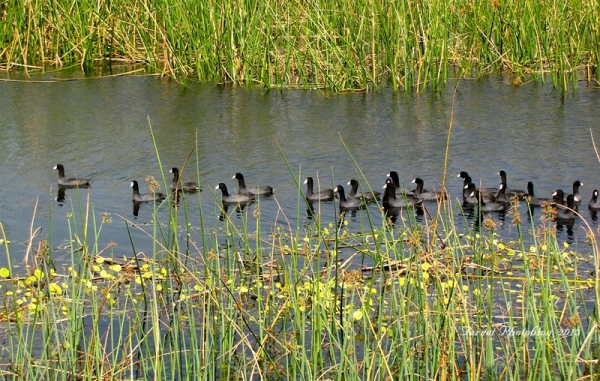 American Coots at Viera Wetlands