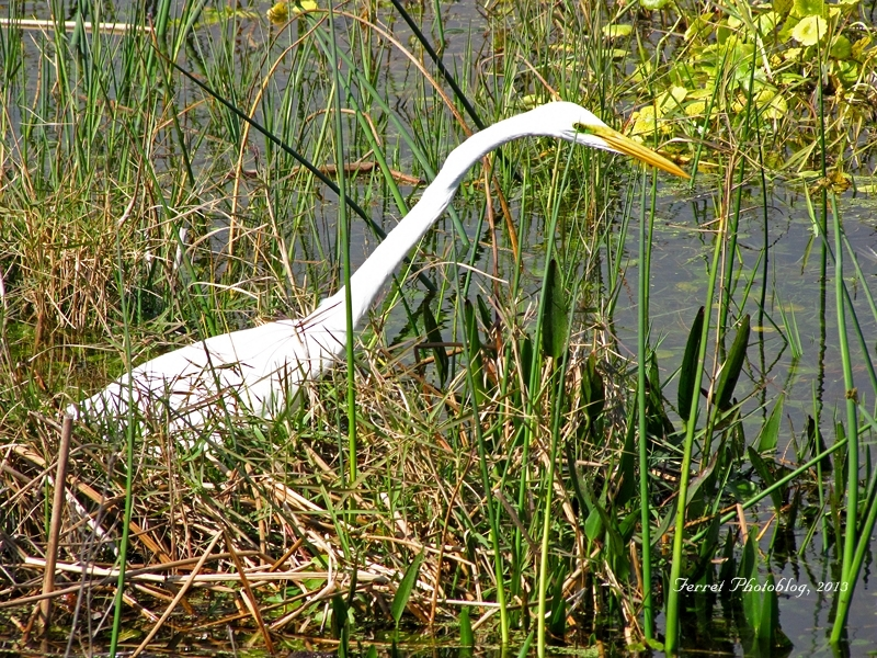 Great White Egret Searches for Food