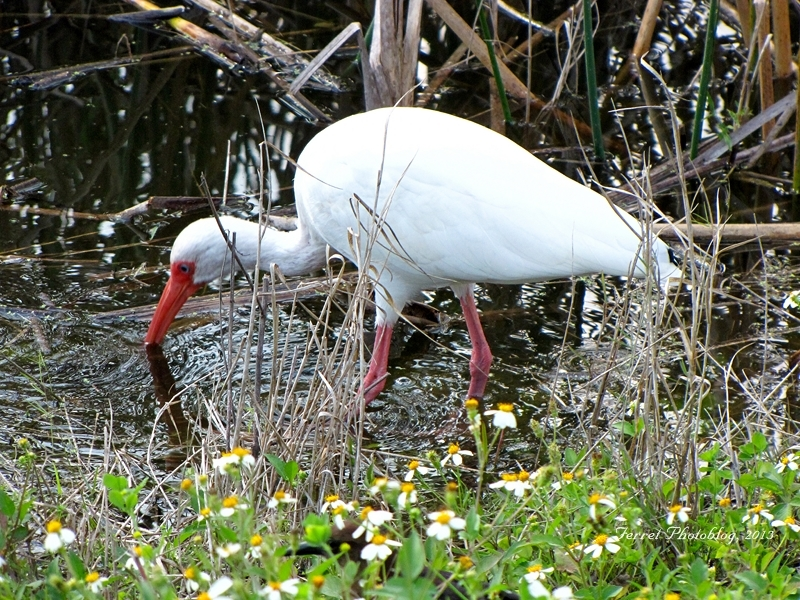 American White Ibis at Viera Wetlands