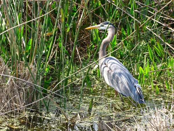Great Blue Heron at Viera Wetland