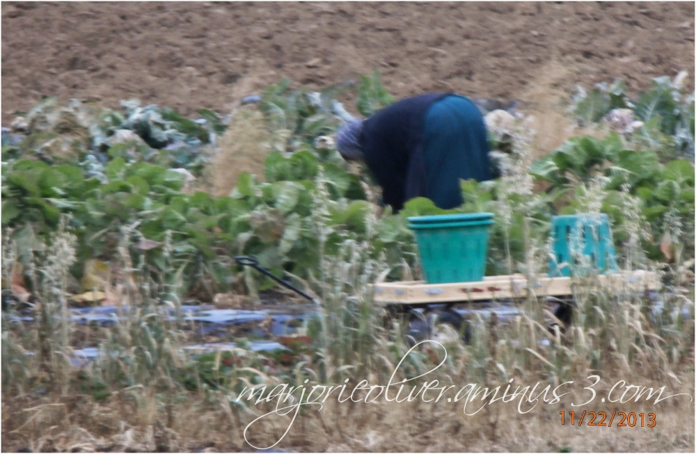 Amish Woman Harvesting Food