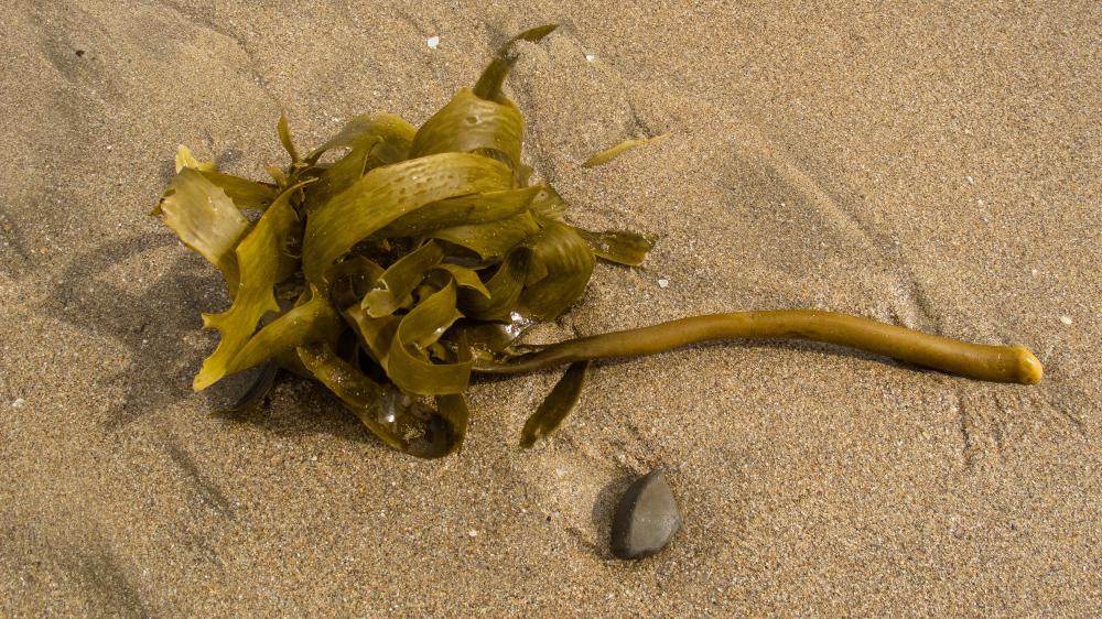 Kelp, seaweed, sand, beach