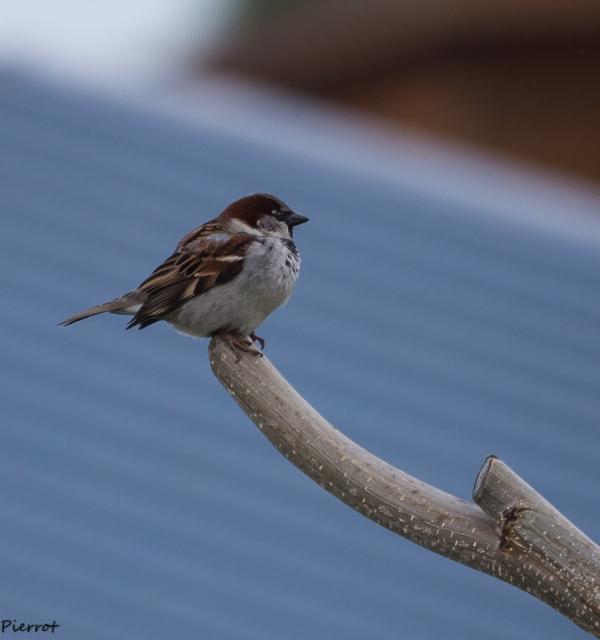 sparrow moineau