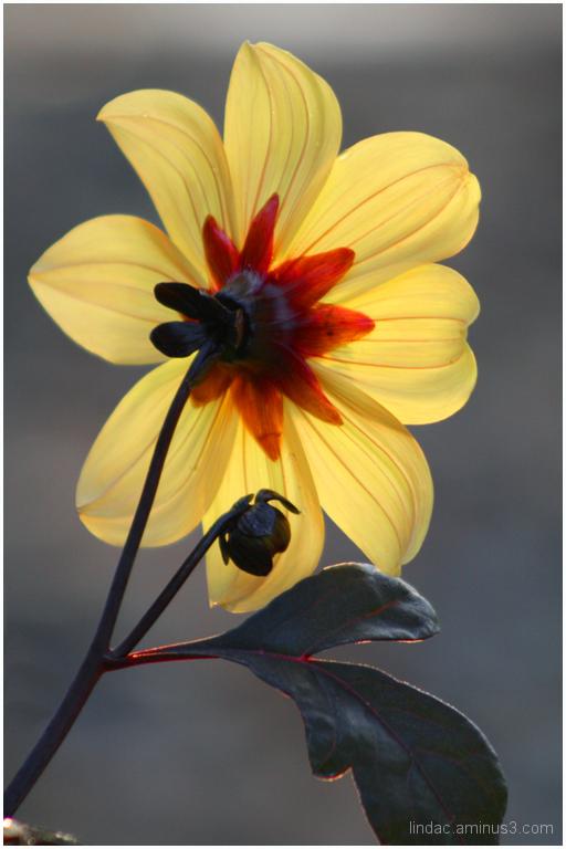 Backlighting of Sunflower Breed
