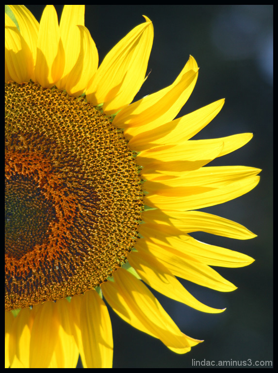 Light Embracing Sunflower