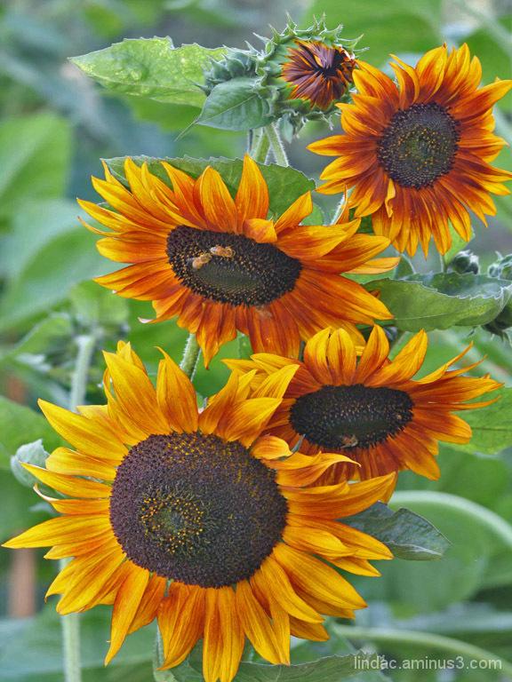 Sunflowers & Bees