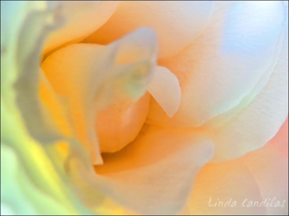 Sunshine Rose 2