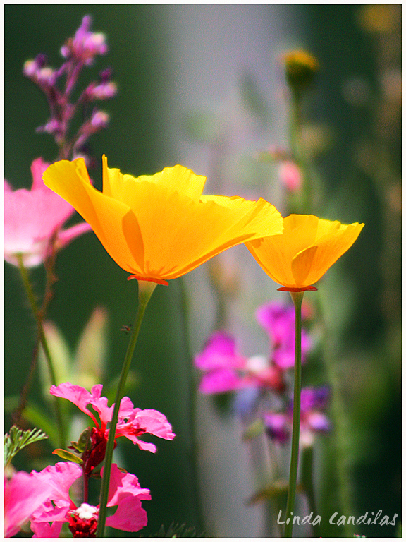 The Color of Spring, Poppy's