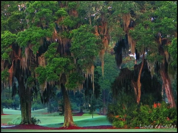 Florida Spanish Moss