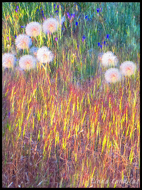 Sun Shine on the Dandelions