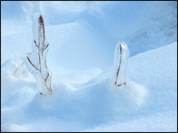 Frozen Branch's Growing Out of the Snow